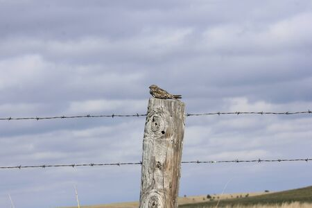 Night Hawk on a wooden fence post with blue sky and white cloud's.