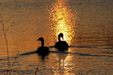 Canadian Geese swimming with a golden Sunset on a Pond in Kansas. Stock Photo