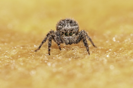 hairy pear: Spider on a yellow background