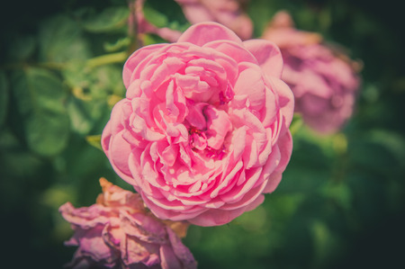 Rose Vintage Flowers In warm tones