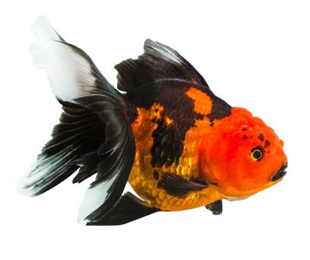 aquarium hobby: Gold fish on black sun