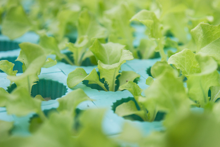 Green vegetables, organic Growing Without Soil