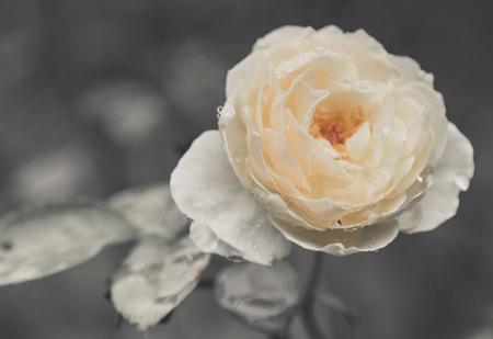 Rose Vintage Flowers In warm tones