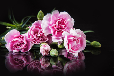 beautiful blooming carnation flower on a black background Stock Photo