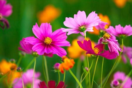 Beautiful pink cosmos flowers blooming in the garden on nature background