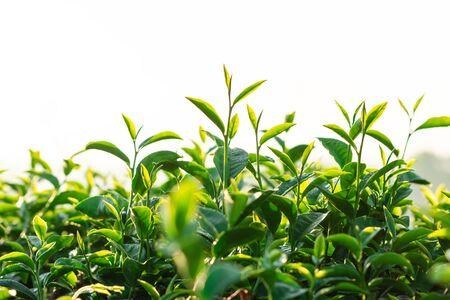 Green tea field in the morning light ,organic tea plantations at chiangrai thailand Standard-Bild