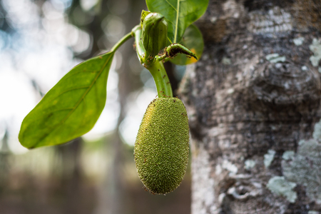 Young jackfruit growing on tree. Concept of hope and rebirth or new life. Closeup Stock Photo
