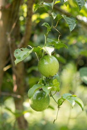passion fruit flower: Passion fruit - Passion fruit raw in the garden. Closeup, Select focus. Stock Photo