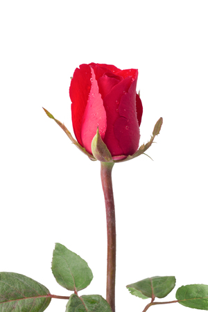 Red roses - Red roses with droplets isolated on white background, clipping path included. Love concept, Valentines day background, Wedding day, Close up
