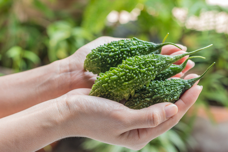 Hands hold Bitter melon - Bitter melon fresh organic green herb or balsam pear in girl hands with green nature background. Closeup, Select focus.
