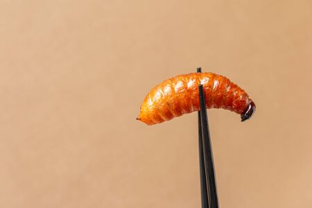 Palm weevil larvae in chopsticks. Fried insects is a popular snack in Thailand and Asia. Eating insect concept, Closeup