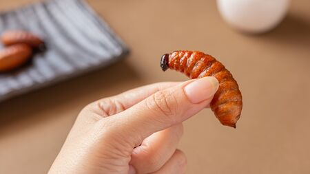 Red palm weevil or Asian palm weevil larvae fried insects on hand Asian female, Eating insect concept. Closeup