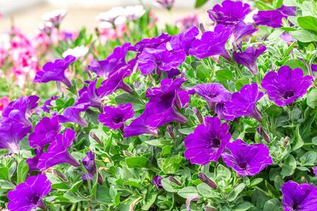 Petunia deep blue-violet are blooming and prolific flowering consistently all summer, Nature photos. Selective focus.