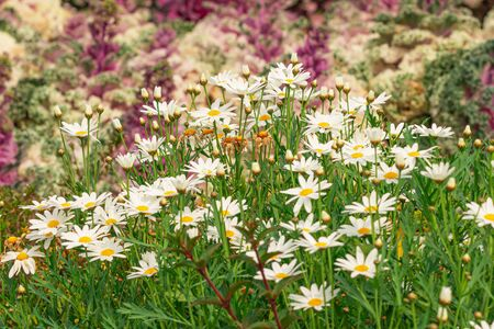 Daisy garden, The daisy has white flowers and yellow stamens. Stock Photo