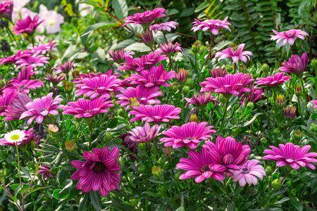 Beautiful Purple daisy flowers wildflowers during the spring super-bloom in the field. Zdjęcie Seryjne