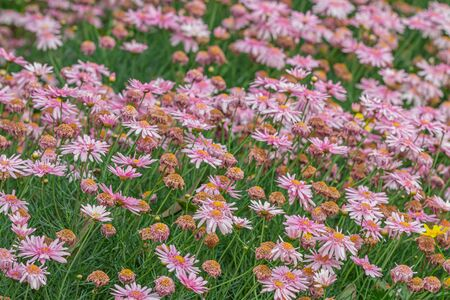 Beautiful Daisy garden, The daisy has pink flowers and orange stamens in the spring-summer garden. Nature