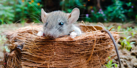 Rat animal isolated on coconut cover background for leadership awareness.