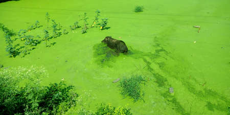 A pig swimming on green water at dirty gutter side.
