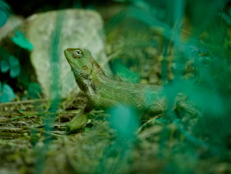 Forest Chameleon lying on grass field at natural environment.