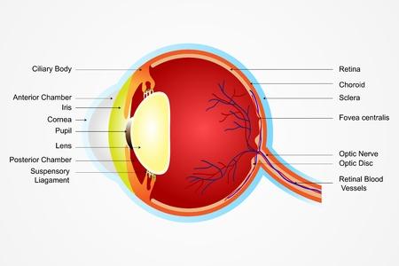 globo ocular: ilustración vectorial de diagrama de la anatomía del ojo con la etiqueta