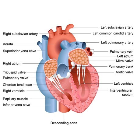 circulation: vector illustration of drawing of heart anatomy
