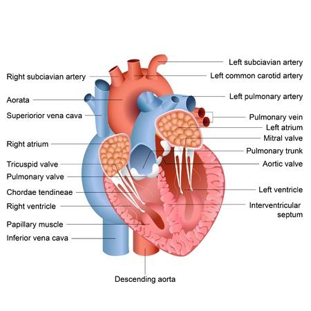 Das Menschliche Herz Anatomie Auf Weiß Vektor-Illustration Isoliert ...