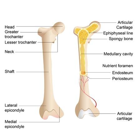 médula: ilustración vectorial de un diagrama de la anatomía ósea humana Vectores
