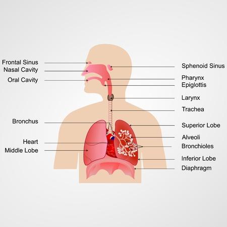 aparato respiratorio: ilustración vectorial de las vías respiratorias con la etiqueta Vectores