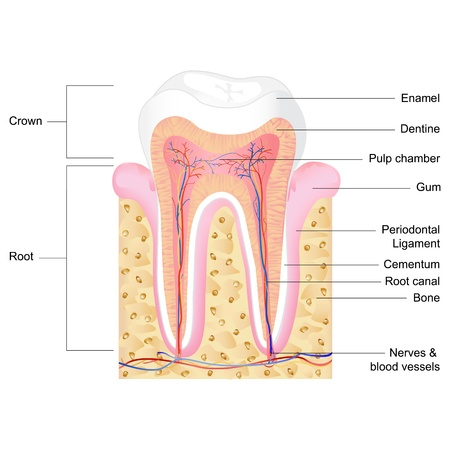 tooth root: vector illustration of human tooth anatomy with label