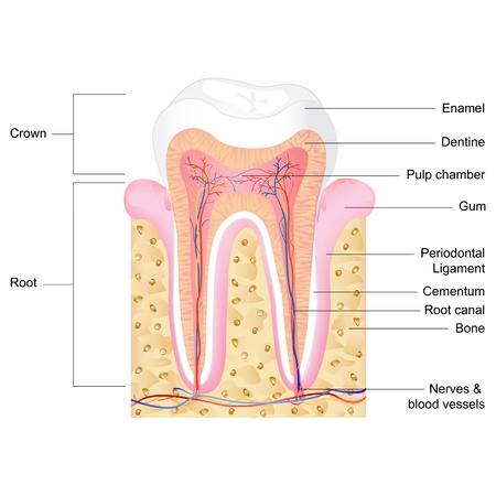 zuby: vektorové ilustrace lidské anatomie zubu s popiskem Ilustrace