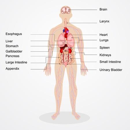 anatomie humaine: illustration vectorielle du schéma de l'anatomie humaine