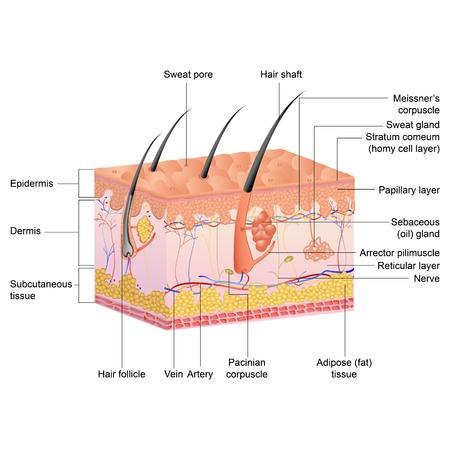 piel humana: ilustración vectorial de dibujo de la anatomía del pelo