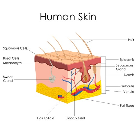 sebaceous gland: vector illustration of diagram of human skin anatomy Stock Photo