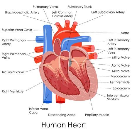 vasos sanguineos: ilustración vectorial de diagrama de la anatomía del corazón humano Foto de archivo