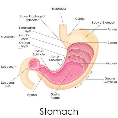 sistema digestivo: ilustración vectorial de diagrama de la anatomía del estómago humano Foto de archivo
