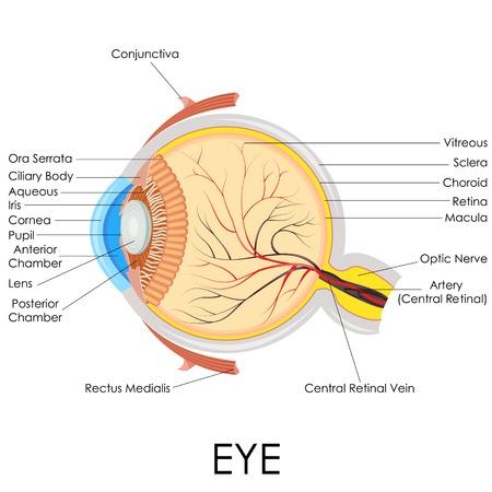 nervios: ilustración vectorial de diagrama de la anatomía del ojo humano