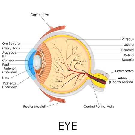 eye drawing: vector illustration of diagram of human eye anatomy Stock Photo
