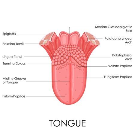 인간의 혀 해부학 다이어그램의 벡터 일러스트 레이 션 일러스트