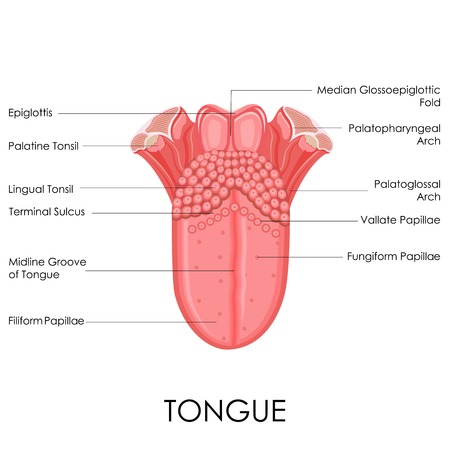 lingual: vector illustration of diagram of human tongue anatomy