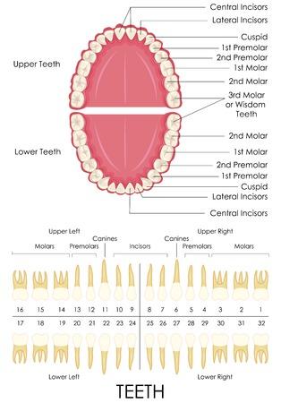 인간의 치아 해부학 다이어그램의 벡터 일러스트 레이 션