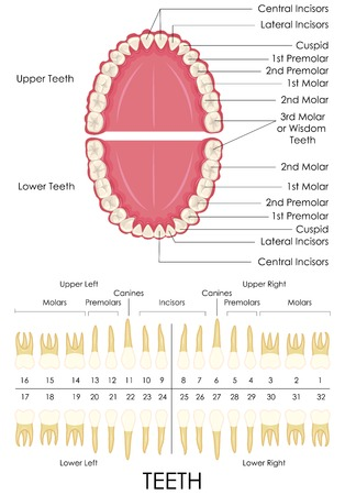 dental health: vector illustration of diagram of human dental anatomy