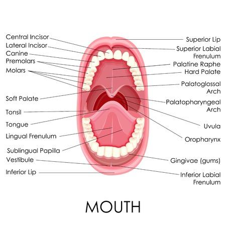 boca abierta: ilustraci�n vectorial de un diagrama de la anatom�a de la boca humana