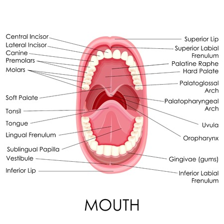 vector illustration of diagram for anatomy of human mouth Illustration