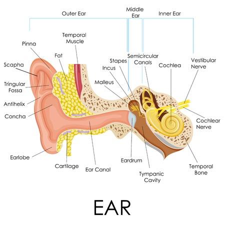 人間の耳の解剖学図のベクトル イラスト