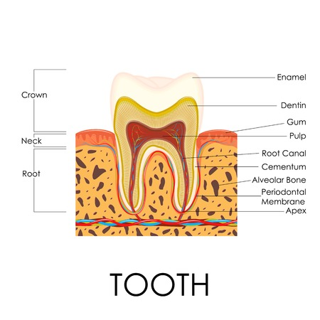 cementum: vector illustration of diagram of human tooth anatomy