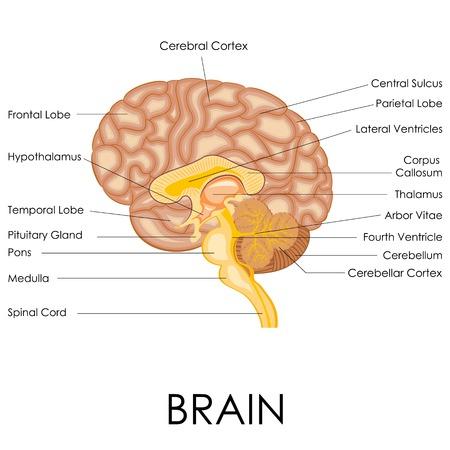 sistema nervioso central: ilustraci�n vectorial de diagrama de la anatom�a del cerebro humano Vectores