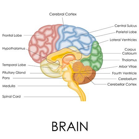 anatomy brain: vector illustration of diagram of human brain anatomy