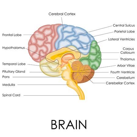 Vektor-Illustration von Diagramm der menschlichen Anatomie des Gehirns Vektorgrafik