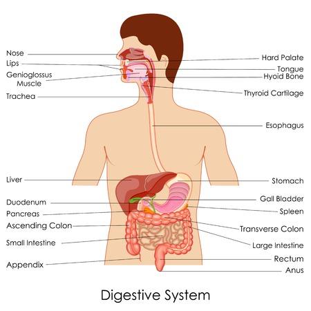 sistema digestivo humano: ilustraci�n vectorial de diagrama del sistema digestivo