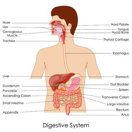 large intestine: vector illustration of diagram of digestive system